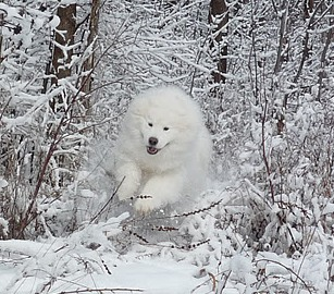 CLICK here to see more ACTIVE SAMOYEDS